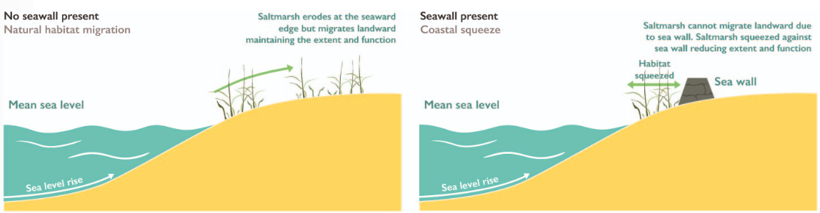 Diagram showing how the presence of coastal defences can lead to the loss of intertidal habitats resulting in coastal squeeze.